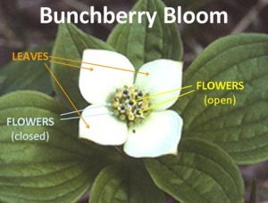Bunchberry 2