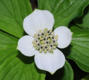 bunchberry 3