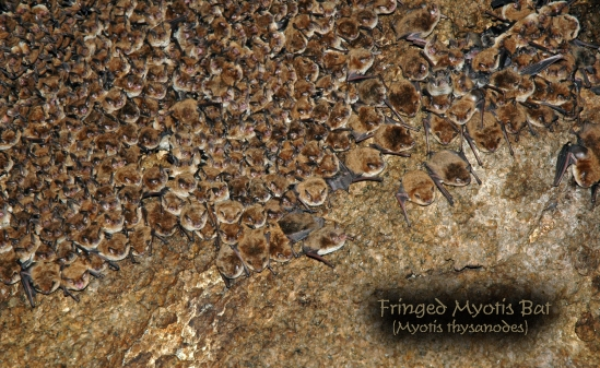 Copy of Mammal - Bat - Myotis (2)